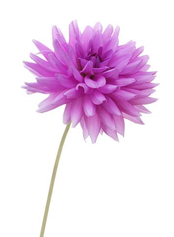 Single Object「Purple dahlia flower, Dahlia 'Blue Boy' with stem, on white.」:スマホ壁紙(12)