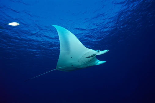 マンタ「Atlantic manta ray」:スマホ壁紙(3)