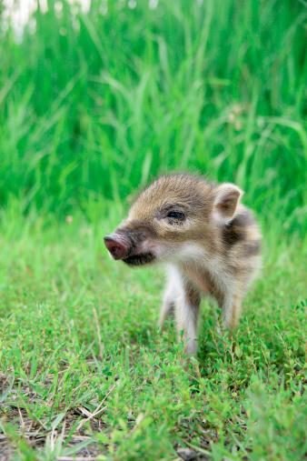 猪「Baby boar standing」:スマホ壁紙(19)