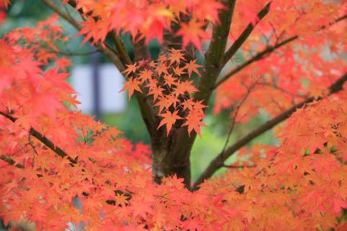 秋+京都「Season colored maple leaves」:スマホ壁紙(4)