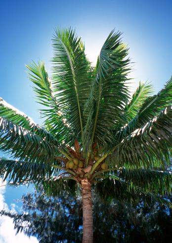 Northern Mariana Islands「Palm Tree」:スマホ壁紙(11)