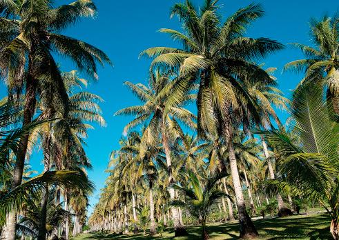 Northern Mariana Islands「Palm Tree」:スマホ壁紙(10)