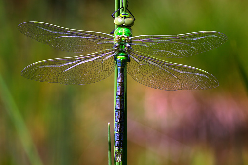 The Nature Conservancy「Emperor Dragonfly (Anax imperator) after metamorphosis on aquatic plant」:スマホ壁紙(4)