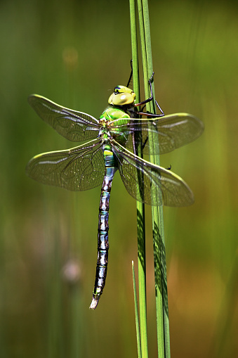 The Nature Conservancy「Emperor Dragonfly (Anax imperator) after metamorphosis on aquatic plant」:スマホ壁紙(7)