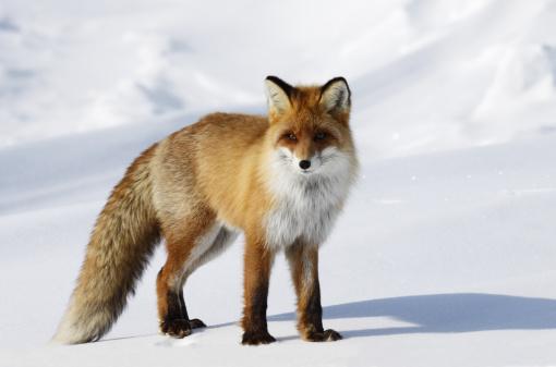 Fox「Fox in snowdrift.」:スマホ壁紙(8)