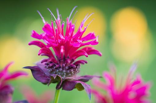 Bergamot「Bee Balm Blossom」:スマホ壁紙(3)