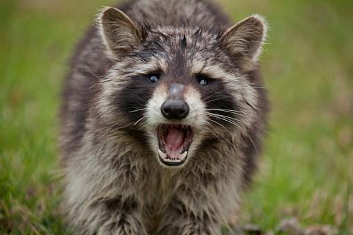 Raccoon「Fierce raccoon baring teeth in grass」:スマホ壁紙(3)