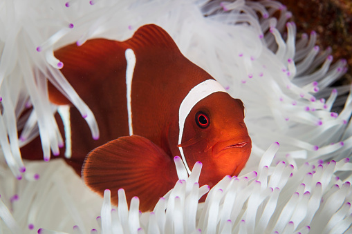Omnivorous「A spine-cheeked anemonefish swims among the tentacles of its host anemone.」:スマホ壁紙(3)