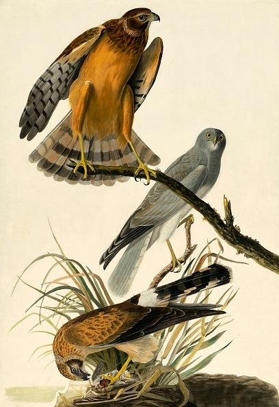 Beak「Hen Harrier」:写真・画像(0)[壁紙.com]