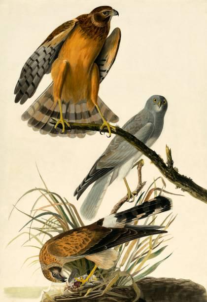 Hen Harrier:ニュース(壁紙.com)