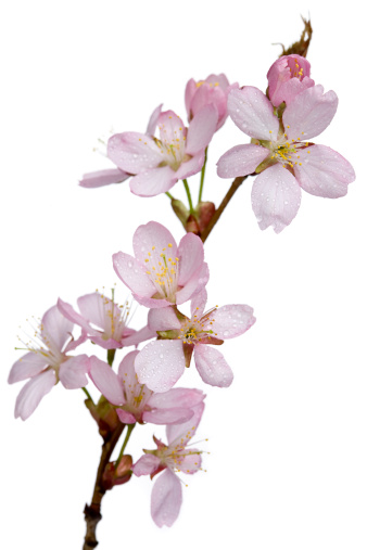 Cherry Blossoms「Sargent cherry branch with flowers (Prunus sargentii)」:スマホ壁紙(8)