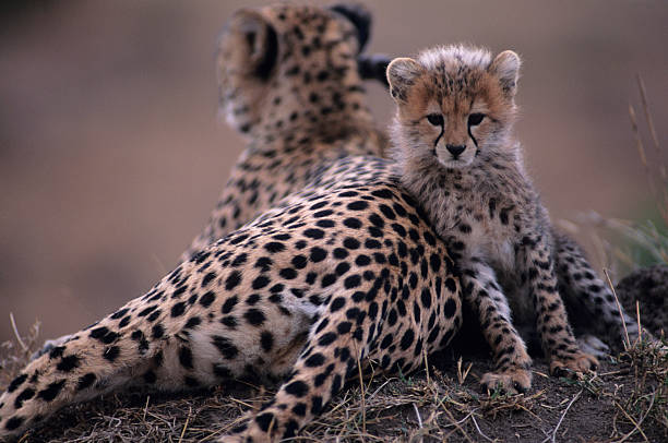 Cheetah mother and cub (Acinonyx jubatus), resting on rock, Kenya:スマホ壁紙(壁紙.com)