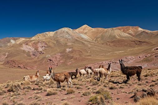 Large Group Of Animals「Llama (Lama glama)」:スマホ壁紙(2)