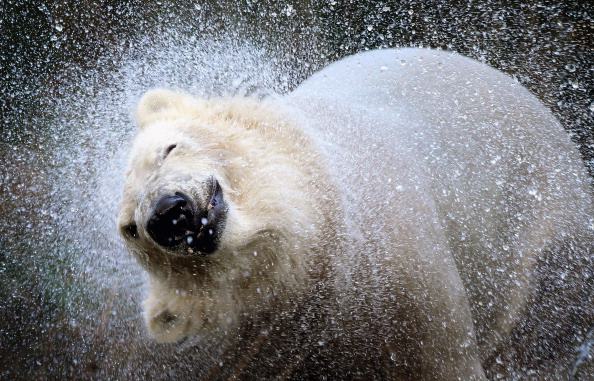ベストオブ「The UK's Only Pair Of Polar Bears Are released Into Their 4 Acre Highland Home」:写真・画像(3)[壁紙.com]