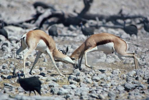 Battle「Springbuck fighting, Africa」:スマホ壁紙(11)