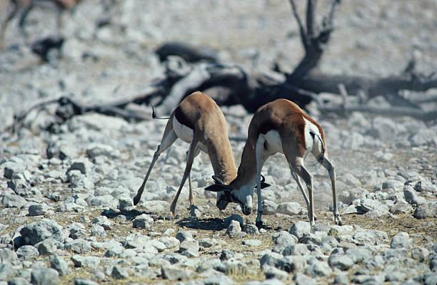 Springbuck fighting, Africa:スマホ壁紙(壁紙.com)
