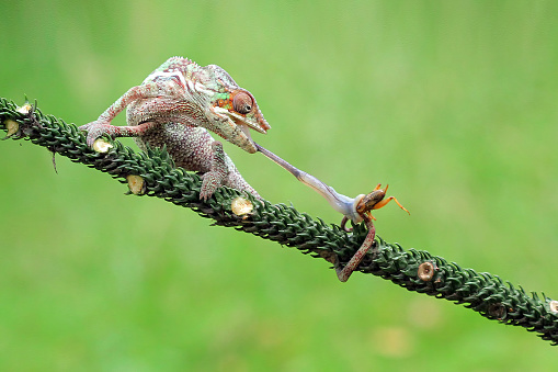 Animals Hunting「Chameleon feeding on an insect, Indonesia」:スマホ壁紙(19)