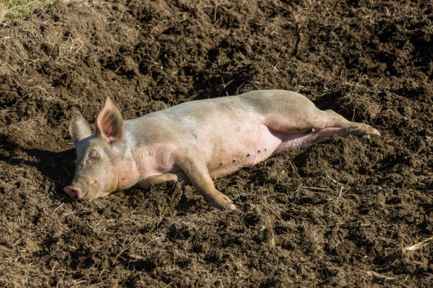A pig (Sus scrofa domesticus) with a dirty snout lies down in a muddy pit:スマホ壁紙(壁紙.com)