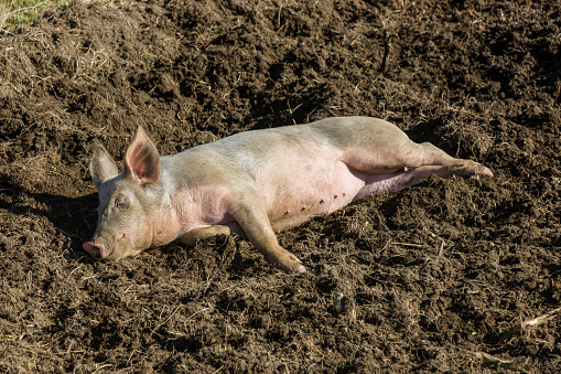 Pit Stop「A pig (Sus scrofa domesticus) with a dirty snout lies down in a muddy pit」:スマホ壁紙(17)