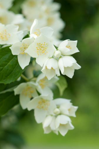 Ornamental Garden「Jasmine」:スマホ壁紙(17)