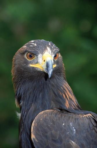 Harris Hawk「Harris's hawk」:スマホ壁紙(9)
