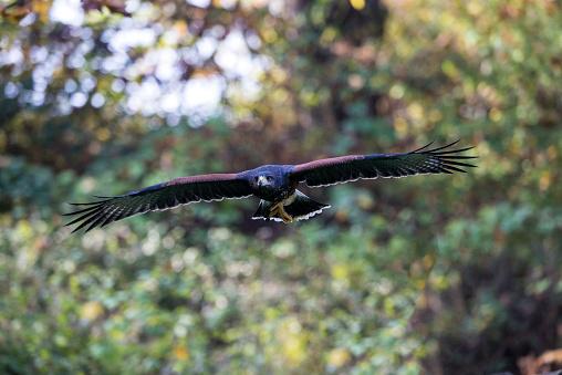 Harris Hawk「Harris's Hawk」:スマホ壁紙(12)