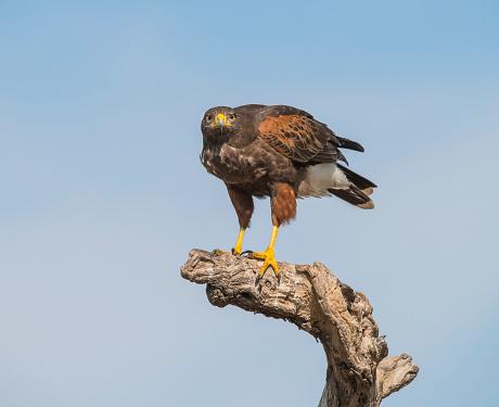 Harris Hawk「Harris's Hawk (Parabuteo unicinctus) on a dead tree, Martin Ranch」:スマホ壁紙(8)