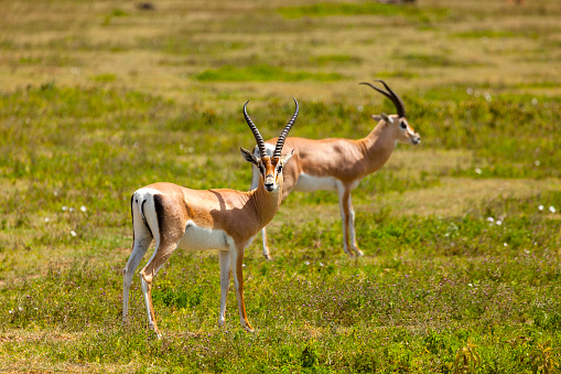 Antelope「Springboks」:スマホ壁紙(5)