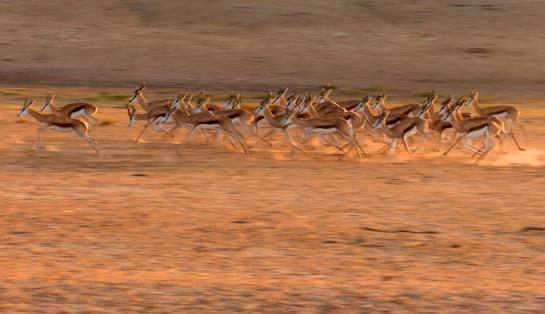 Gazelle「Springboks - Antidorcas marsupialis running in dusty Kalahari, Kgalagadi Transfrontier Park, Northern Cape, South Africa」:スマホ壁紙(14)