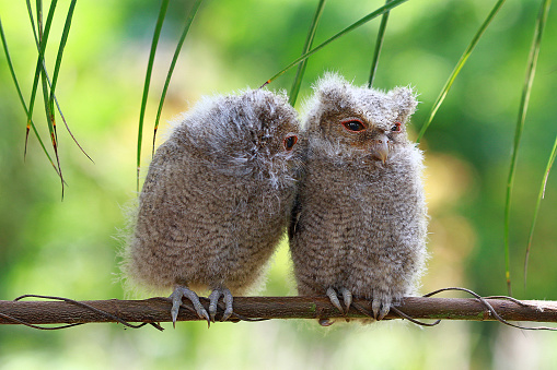 Baby animal「Two baby owls sitting on a branch, Indonesia」:スマホ壁紙(16)