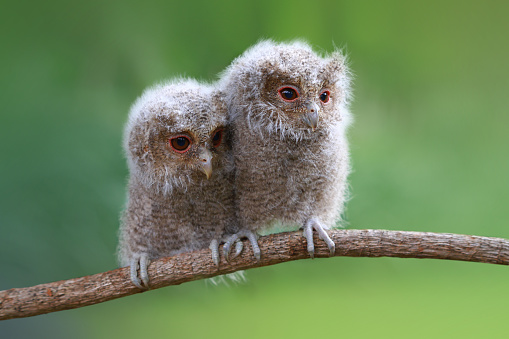 Baby animal「Two baby owls sitting on a branch, Indonesia」:スマホ壁紙(14)