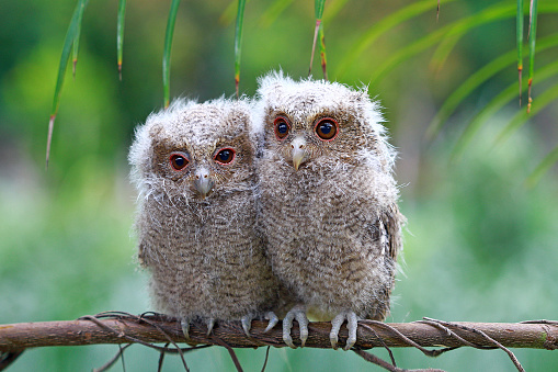 Baby animal「Two baby owls sitting on a branch, Indonesia」:スマホ壁紙(17)