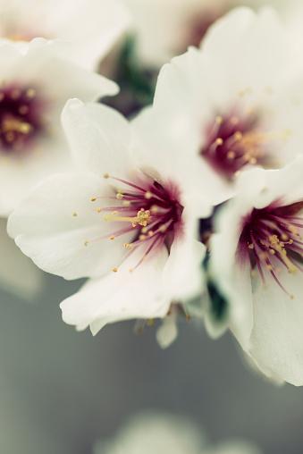 Inflorescence「Detail of a almond flower」:スマホ壁紙(13)