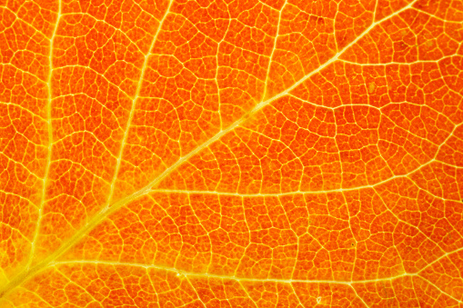 Aspen Tree「Detail of Aspen Leaf」:スマホ壁紙(9)