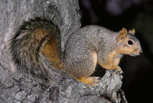 Tree Squirrel「Detail of a fox squirrel standing on top knotted bark of a tree. Aransas National Wildlife Refuge, Texas.」:スマホ壁紙(11)