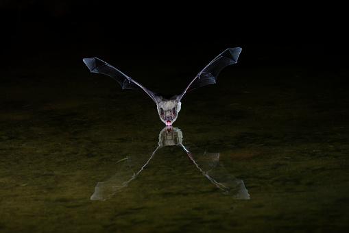 コウモリ「Big brown bat (Eptesicus fuscus) drinking, Green Valley, Arizona, USA」:スマホ壁紙(19)