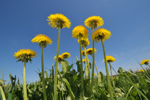 たんぽぽ「Dandelion flower group against a blue sky.」:スマホ壁紙(11)