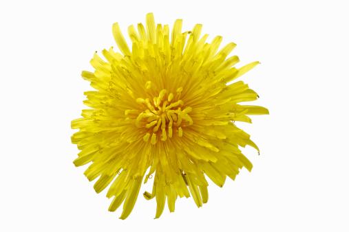 花「Dandelion flower」:スマホ壁紙(5)