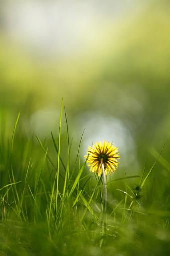 たんぽぽ「Dandelion flower」:スマホ壁紙(7)