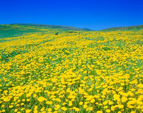 たんぽぽ「Dandelion field」:スマホ壁紙(12)
