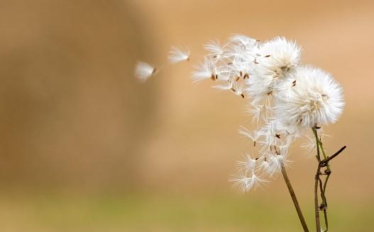 たんぽぽ「Dandelion fluff」:スマホ壁紙(1)