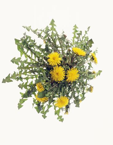Uncultivated「Dandelion flowers」:スマホ壁紙(19)
