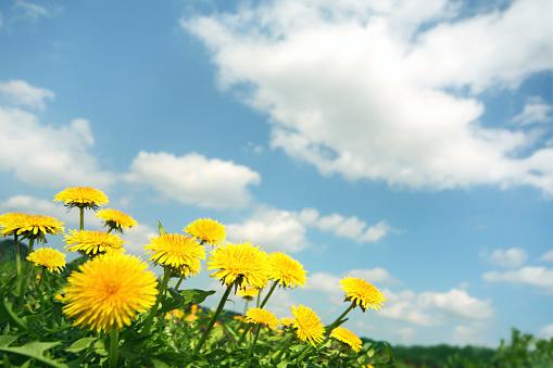 たんぽぽ「Dandelion Flowers」:スマホ壁紙(13)