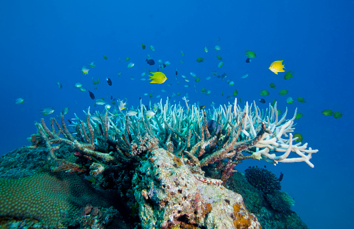 Mamanuca Islands「Golden Damselfish swim around a coral head topped with Elkhorn Coral, Fiji.」:スマホ壁紙(7)