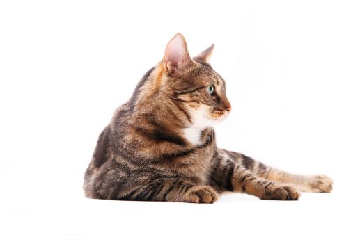 Tabby Cat「Sitting cat in profile」:スマホ壁紙(14)