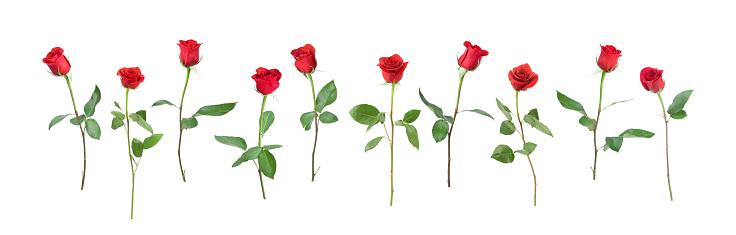 Large Group Of Animals「Single Stem Roses」:スマホ壁紙(7)