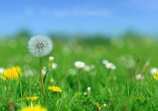 Meadow -たんぽぽ、花や緑の芝生:スマホ壁紙(壁紙.com)