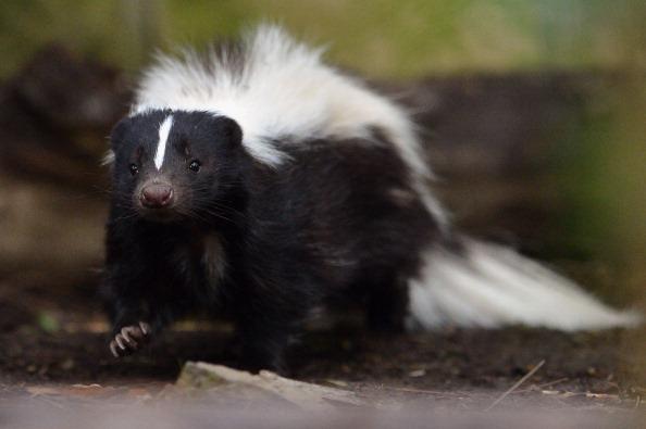 動物「Flo The Skunk Arrives At Edinburgh Zoo」:写真・画像(7)[壁紙.com]
