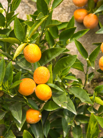 Orange - Fruit「The bergamot fruit with green leaves」:スマホ壁紙(7)