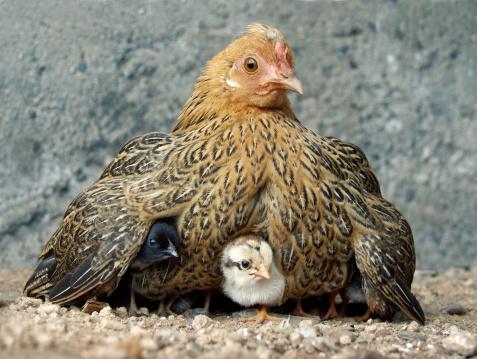 Animal Wing「Hen with chicks」:スマホ壁紙(16)